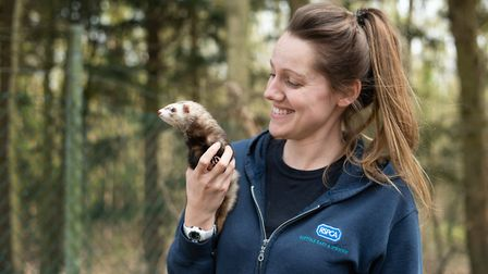 Emma Thresh with Holly, one of the ferrets at the Martlesham RSPCA that needs a new home Picture: S