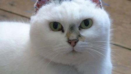 The tabby-and-white cat spent most of her life outdoors as a stray with no protection from the sun P