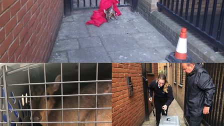 The Muntjac deer was freed from the police gate by RSPCA officers when he was found on the morning o