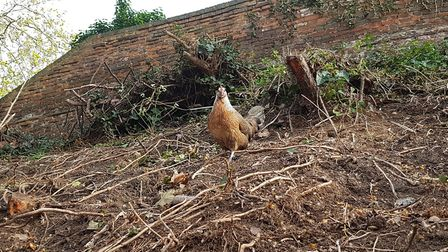 Locals say the chicken has been living in the verge on the corner of Burrell Road and Stoke Street i