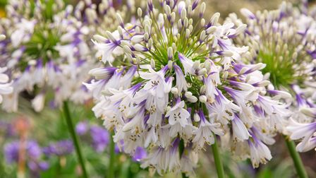 Agapanthus Fireworks has been awarded third place in the RHS Chelsea Flower Show 2019 Plant of the Y
