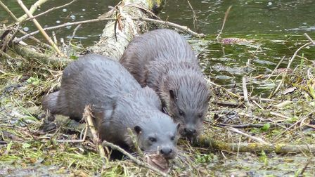 Otters on the Little Ouse Picture: Julie Potter