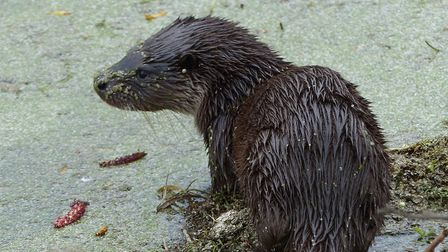 Young otter on the Little Ouse Picture: Julie Potter