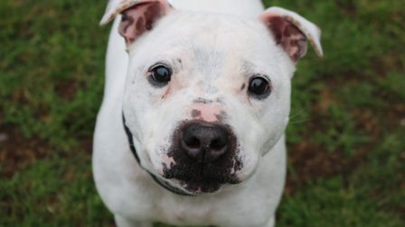 Bailey the male Staffordshire Bull Terrier needs a home! Picture: CHARLOTTE BOND