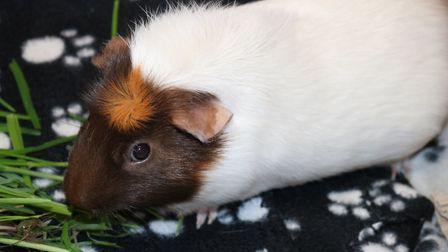Nibbles the gorgeous guinea pig is looking for his forever home Picture: CHARLOTTE BOND