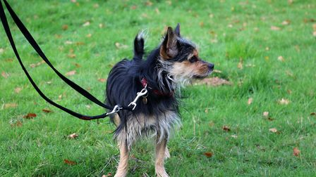 Harley the Yorkie cross Chihuaha is looking for his perfect companion Picture: CHARLOTTE BOND