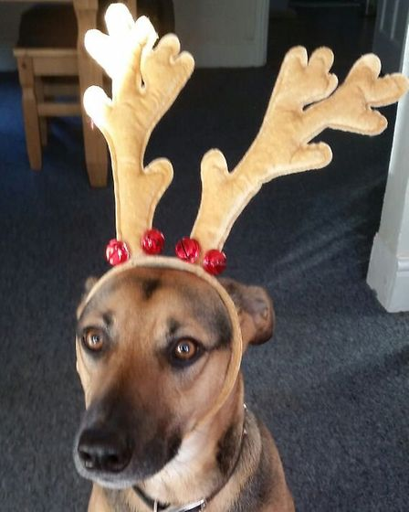 Adorable Loki was sporting some cute Christmas antlers in the 2018 Santa Paws gallery Picture: SARAH