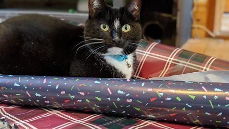 Bella helping out with the Christmas wrapping Picture: SAM EMMENS