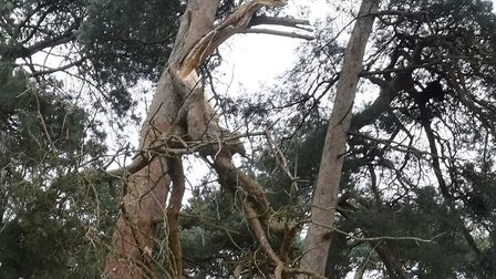Trees at West Stow have been damaged by Storm Ciara- the park rangers are working hard in difficult