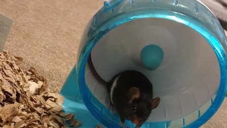 'We have recently got a new addition.... Mr Jingles the mouse!' Picture: Katie Versey