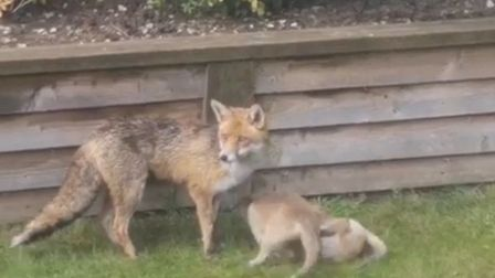 The family of foxes were filmed playing in a garden in the Stoke area of Ipswich. Picture: ADAM SADL