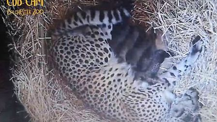 A one-month-old cheetah cub, part of a litter of five born in April (pictured), has been found dead