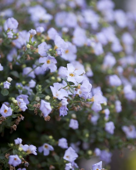 Bacopa 'Atlas'. Picture: PA Photo/Paul Debois/ Which?.