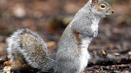 It is legal to shoot grey squirrels under UK law (photo: PA/Peter Byrne)