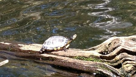 The Metropolitan Police's marine unit at Eagle Pond, in Snaresbrook, took this picture of a terrapin