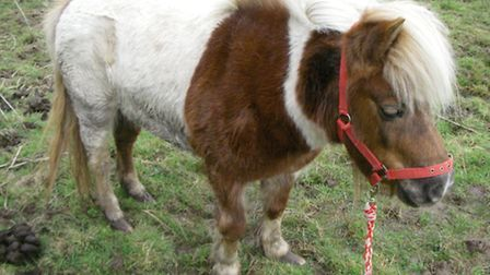 The Shetland pony abandoned in Warley, which had to be put down