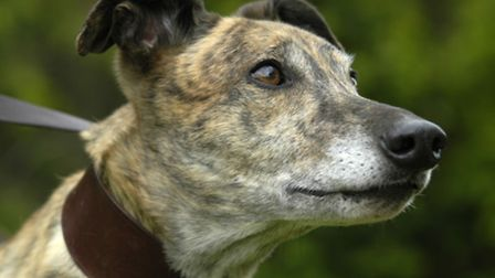 The RGOA rehomes greyhounds like this one