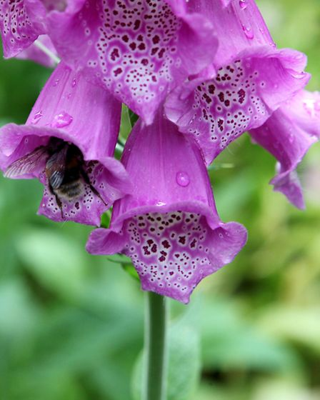 Foxgloves add nice height to a garden. Picture: PA