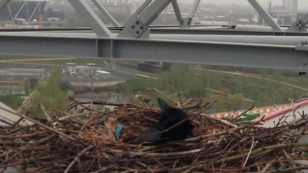 The crows in their Olympic Park nest