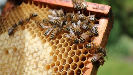 Some of the bees dunk their heads into the cones of honey