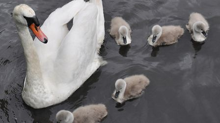 The cygnets were photographed in June by Hornchurch resident John Hercock