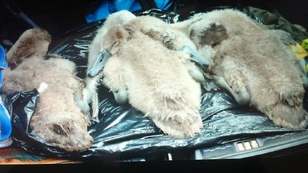 Three cygnets were discovered dead today as a result of the outbreak of botulism