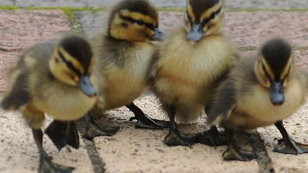 Ducklings similar to those found trapped in a drain in Beckton.