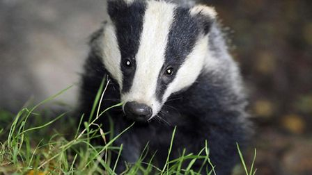 """Badgers being """"scapegoated"""" for the failings of farming"""