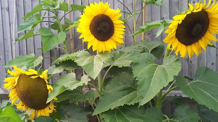 Some of the dwarf sunflowers which have been grown by Ghulam and Rabia Patel
