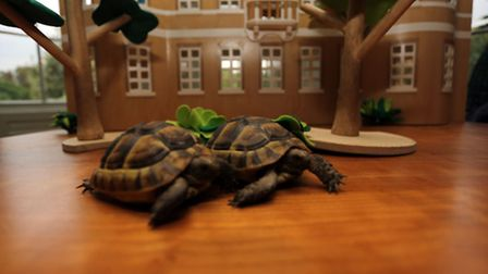 Two tortoises at the mansion have just been named in a competition. Tashi (left) and Jonus (righ