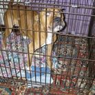 Brandy the dog was emaciated when RSPCA officers found her. Picture: RSPCA