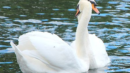 Adult male swan reunites with partner after being rescued by swan sanctuary. Photo: Tony Webb for iW
