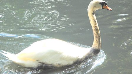 A swan covered in oil that has polluted the lake in South Park, Ilford. Picture: Tony Webb