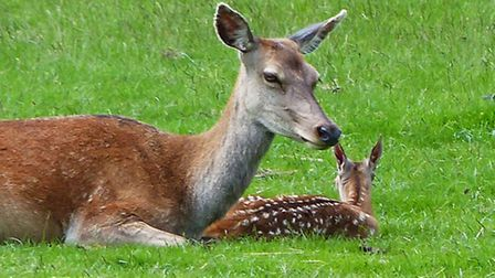 Doe and fawn. Picture: Michelle Ordever