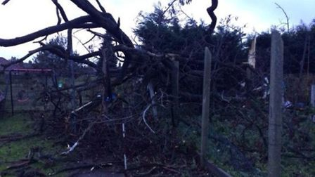 This tree was brought down in an Ilford garden in the storm on 23/12/13, Picture: @Monica89