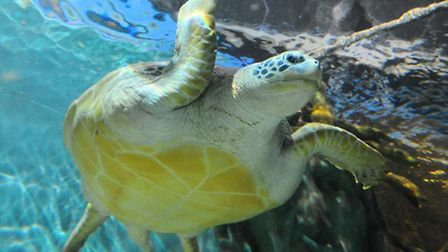 New giant green sea turtle in its new home at Great Yarmouth Sealife Centre.Picture: James Bass