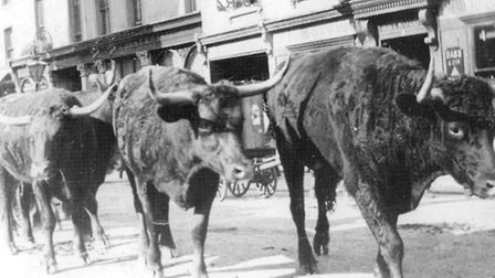 Cattle in Romford high street. Picture: Brian Evans