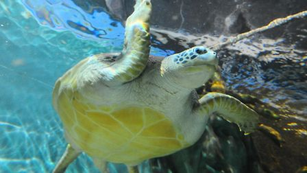 A giant green sea turtle is among the creatures you can see at Great Yarmouth Sealife Centre. Pictu