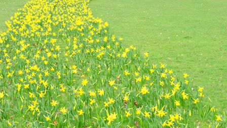 South Park's vision of golden daffodils (Credit: Tony Webb)