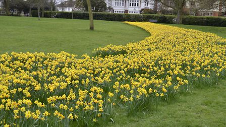 The daffodils have come into flower after they were planted last aututm. Picture: Ron Jeffries on iW