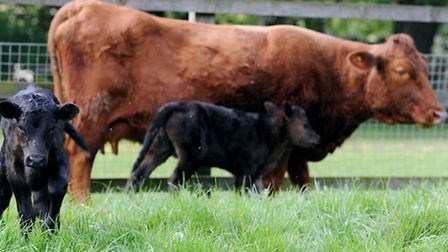 Primrose the cow and two twin calves that she recently gave birth to