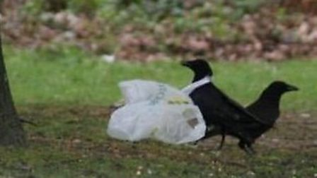 The crow struggling with a plastic bag stuck around its neck