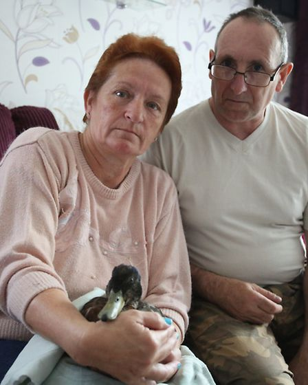 Tom and Janet haven taken in a duck that was ill with Botulism in Harrow Lodge Park.