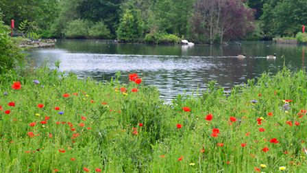 Poppies in South Park, Ilford. [Picture taken by Tony Webb]