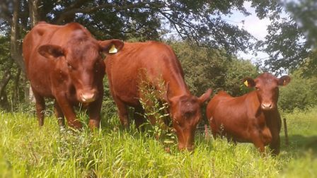Red Poll Cattle - picture by Ray Bowler, secretary of the Red Poll Cattle Society