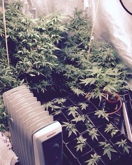 The cannabis plants. Picture: Met Police