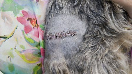 Yorkshire terrier Daisy who was attacked by a staffordshire bull terrier when out walking in Clayhal