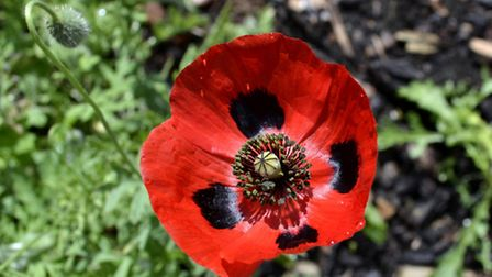A picture of a poppy taken by Ron Jeffries
