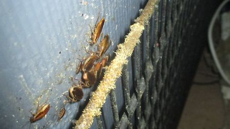 Cockroaches behind refrigeration units