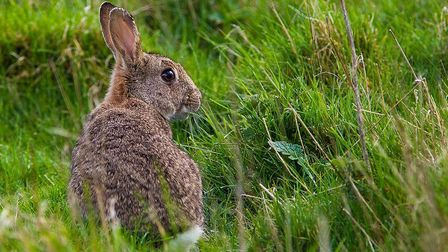 Maybe the country should start eating wild rabbits?. Picture: Natural England/Allan Drewitt